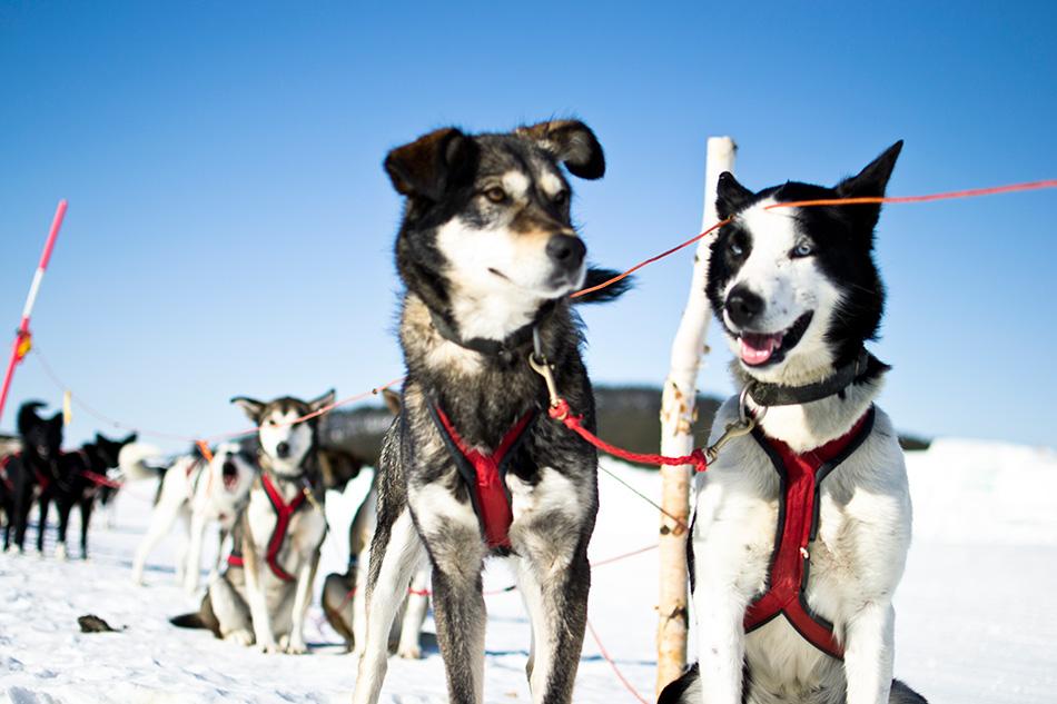 Sled_dogs_-_Photo_Martin_Smedsen