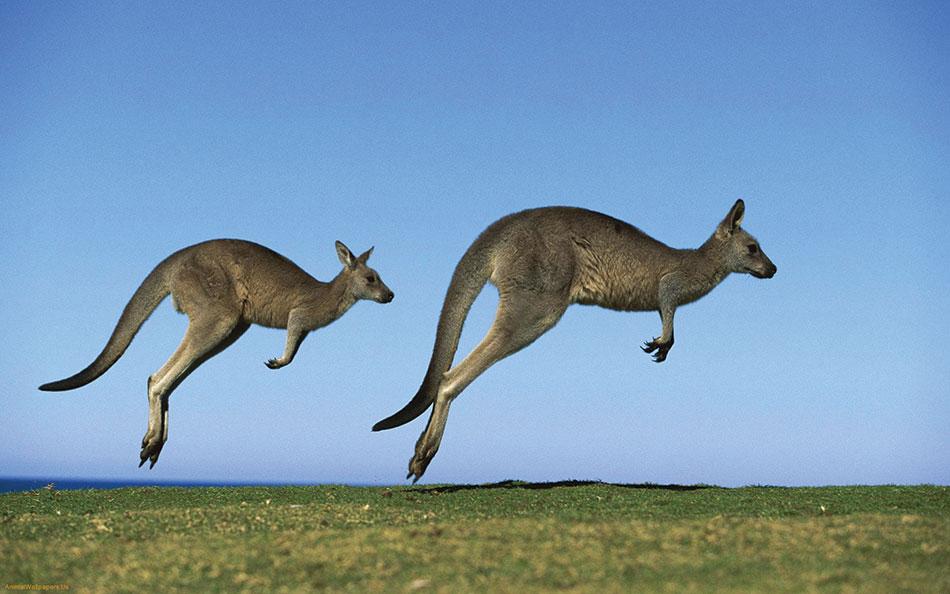 Kangaroos-jump-high-1